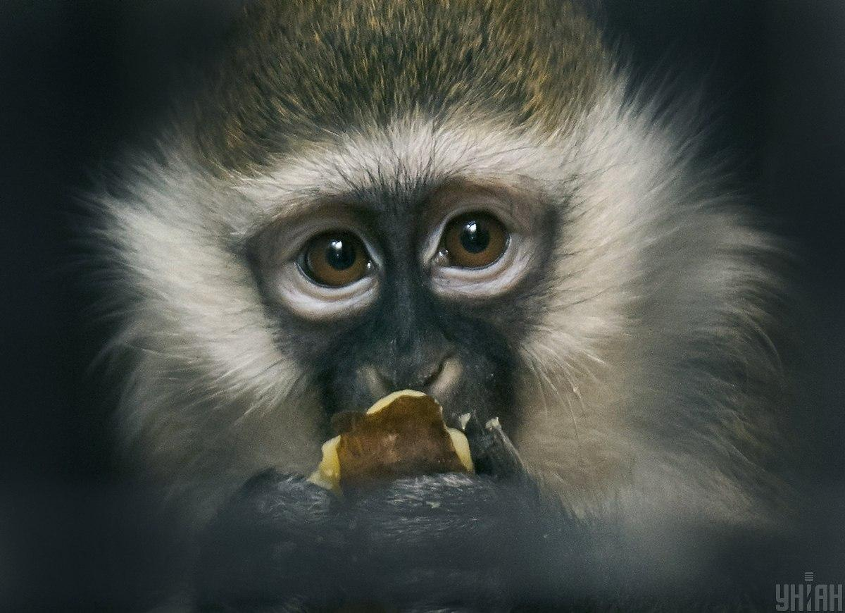 Ветеринар заразился вирусом обезьяны B (BV)/фото УНИАН
