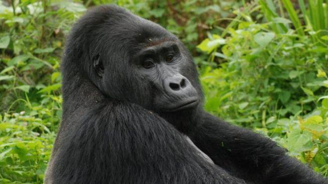Горилла Рафики/ фото Uganda Wildlife Authority