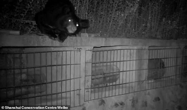 Ведмідь вкрав близько 8 кг меду/ Фото Shanshui Conservation Centre/Weibo