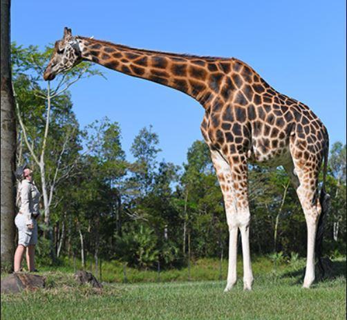 Жираф Форест отныне является самым высоким в мире / Фото Forest with the Senior Africa Section Keeper at Australia Zoo, Kat Hansen