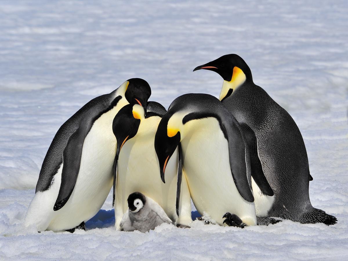 Супутник показав, що в Антарктиді імператорських пінгвінів на 20% більше, ніж вважалося / фото ua.depositphotos.com