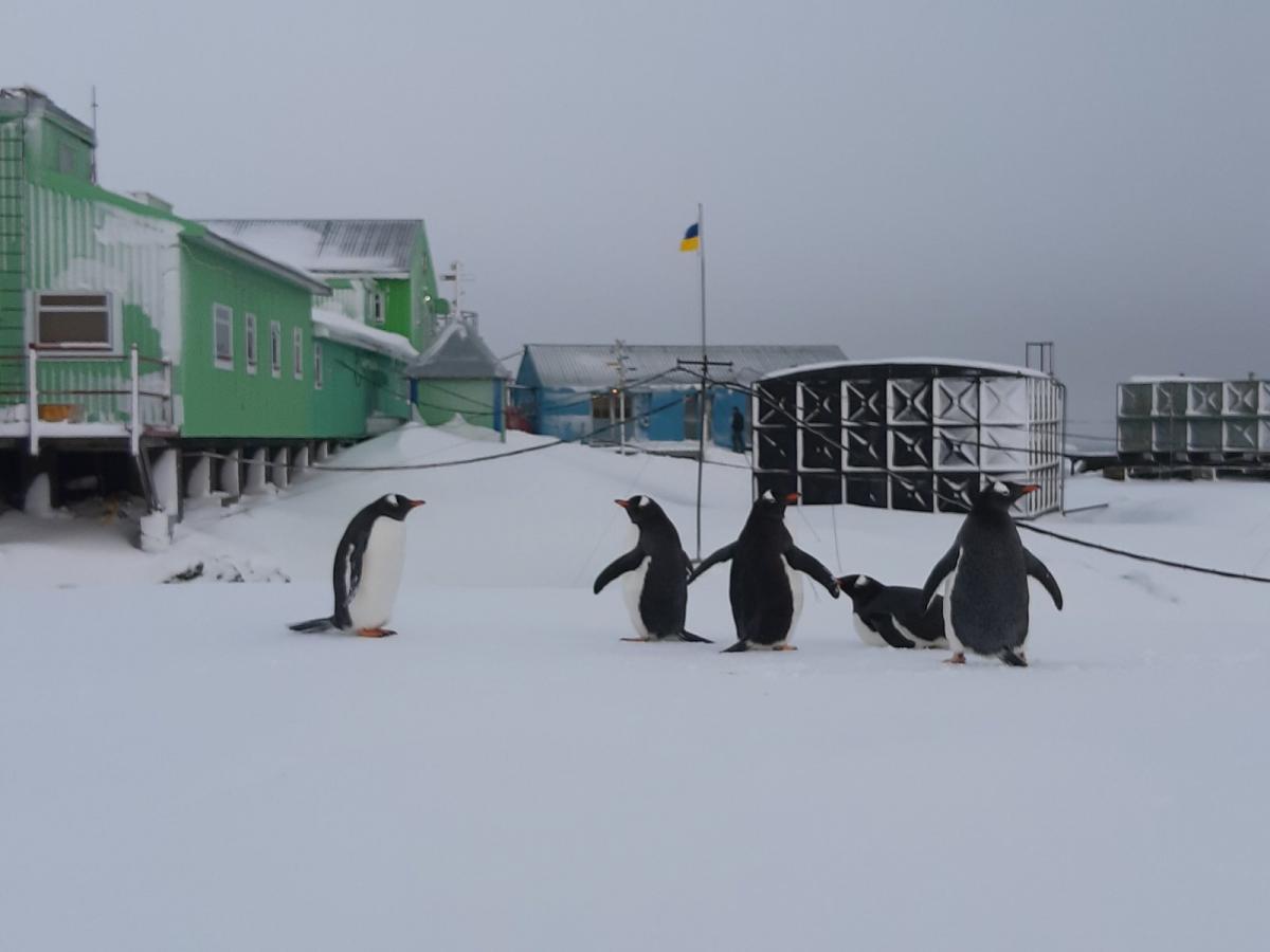 Українські полярники несподівано зустріли пінгвінів / Facebook. Національний антарктичний науковий центр