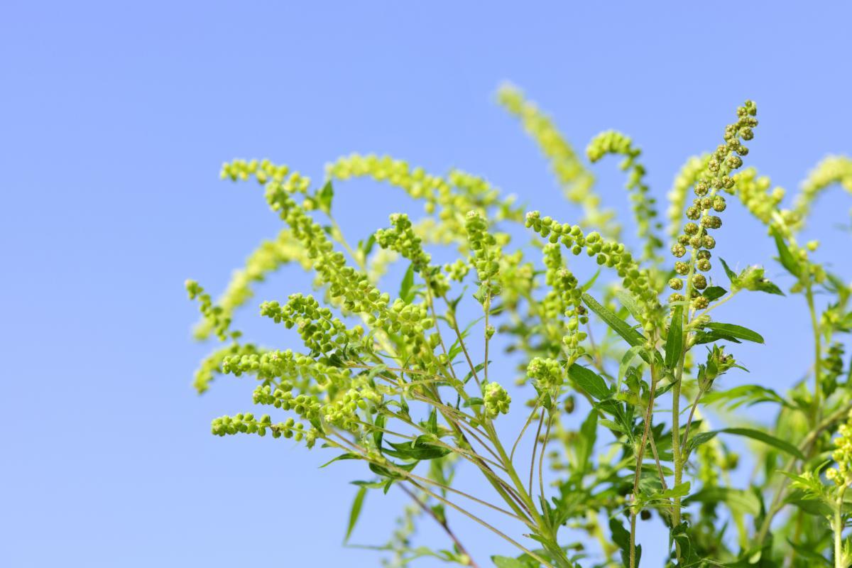 Як захиститися від алергії на амброзію / фото: ua.depositphotos.com
