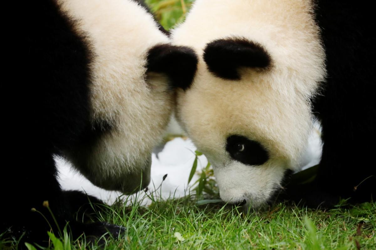 У світі стало більше панд / фото REUTERS