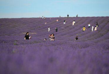 Туристы заполонили лавандовые поля в Британии в поисках нежных фотосессий (фоторепортаж)