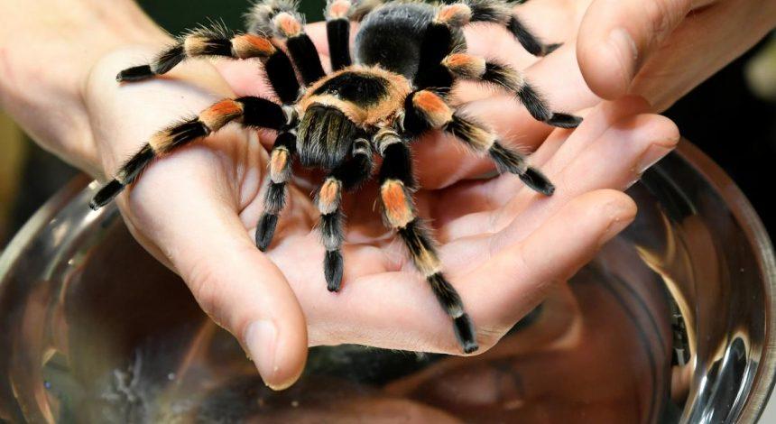 Вчені дізналися про небезпечні бактерії на іклах деяких павуків