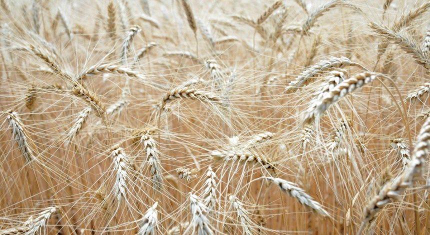 Wheat export prices up in Ukraine