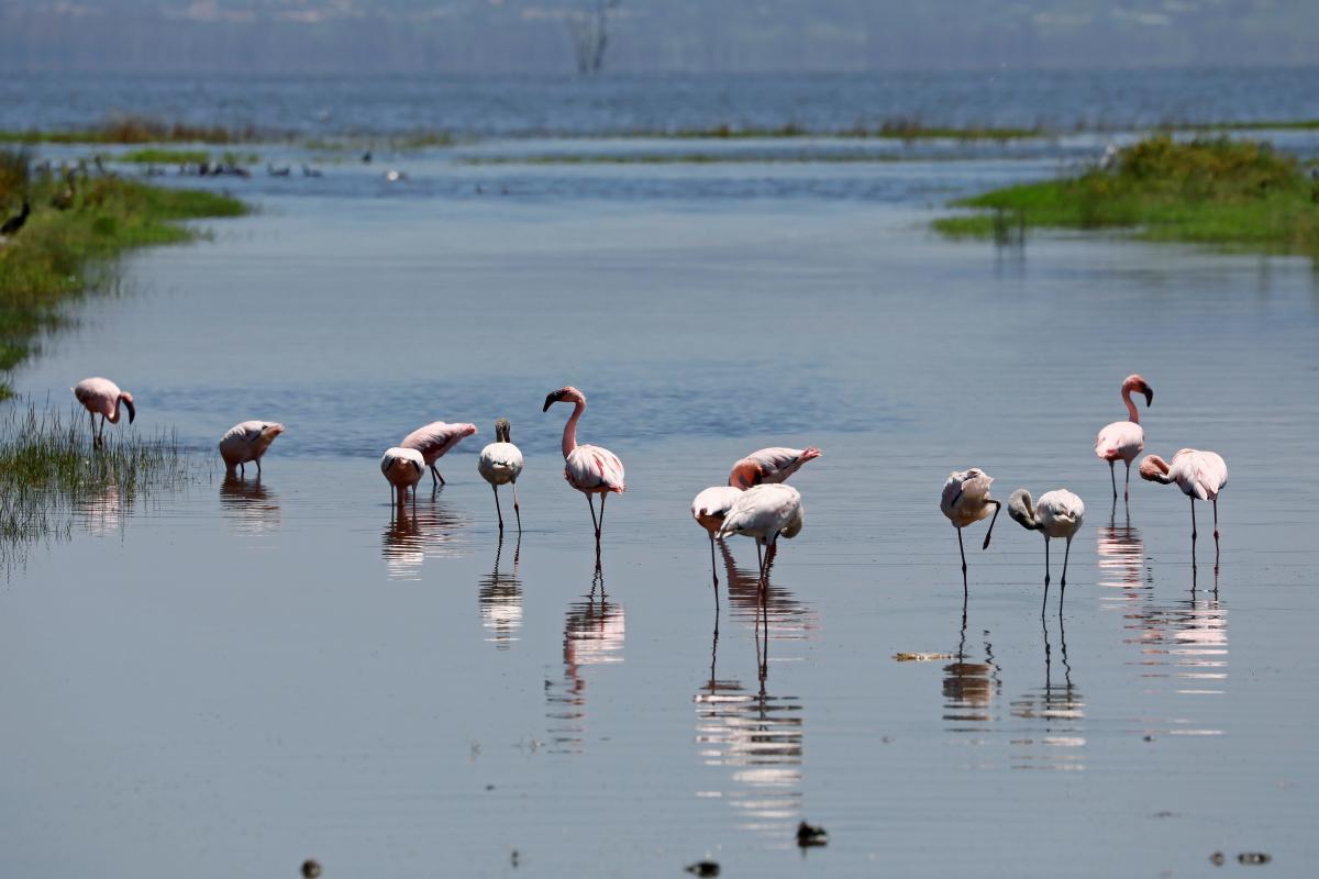 Фламинго на озере Накуру в Кении / фото REUTERS