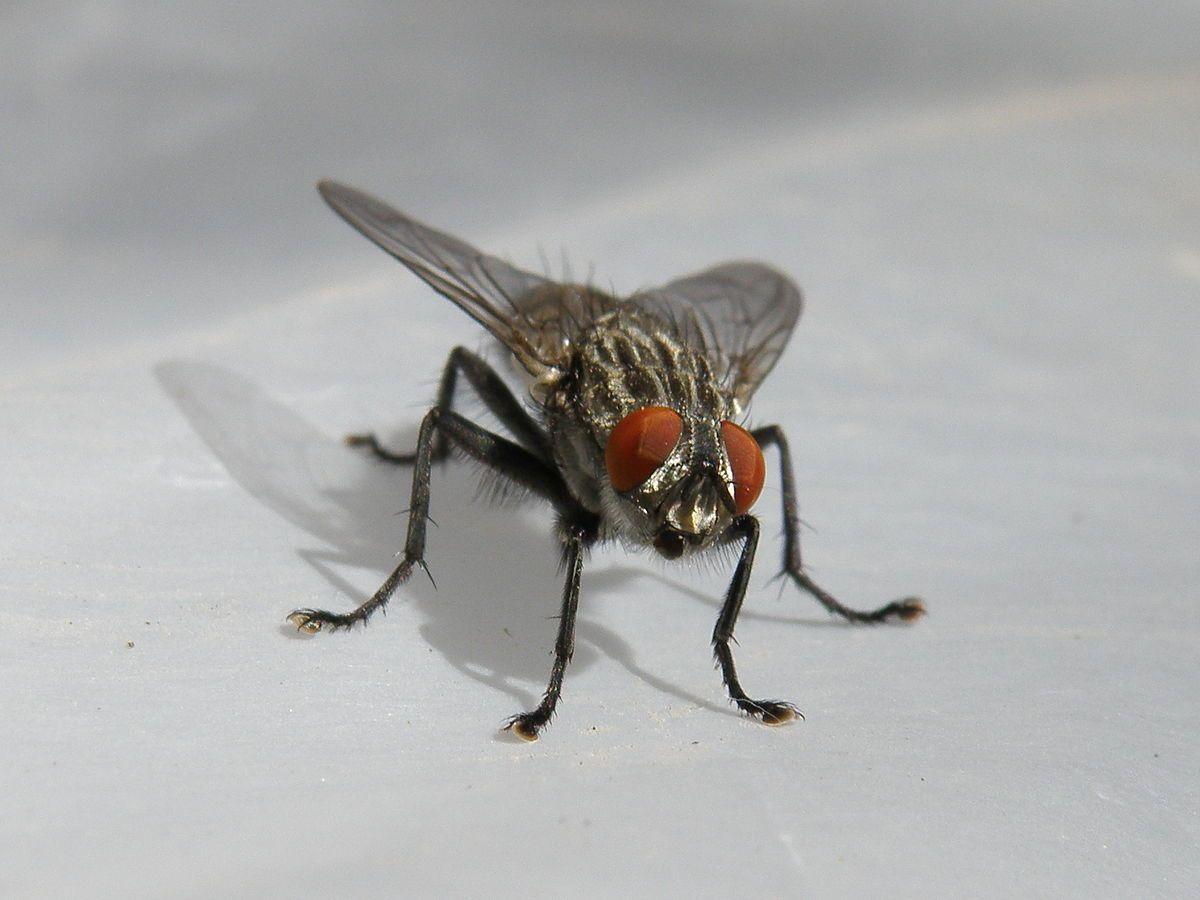 Француз у гонитві за мухою підірвав будинок / фото Wikimedia Commons