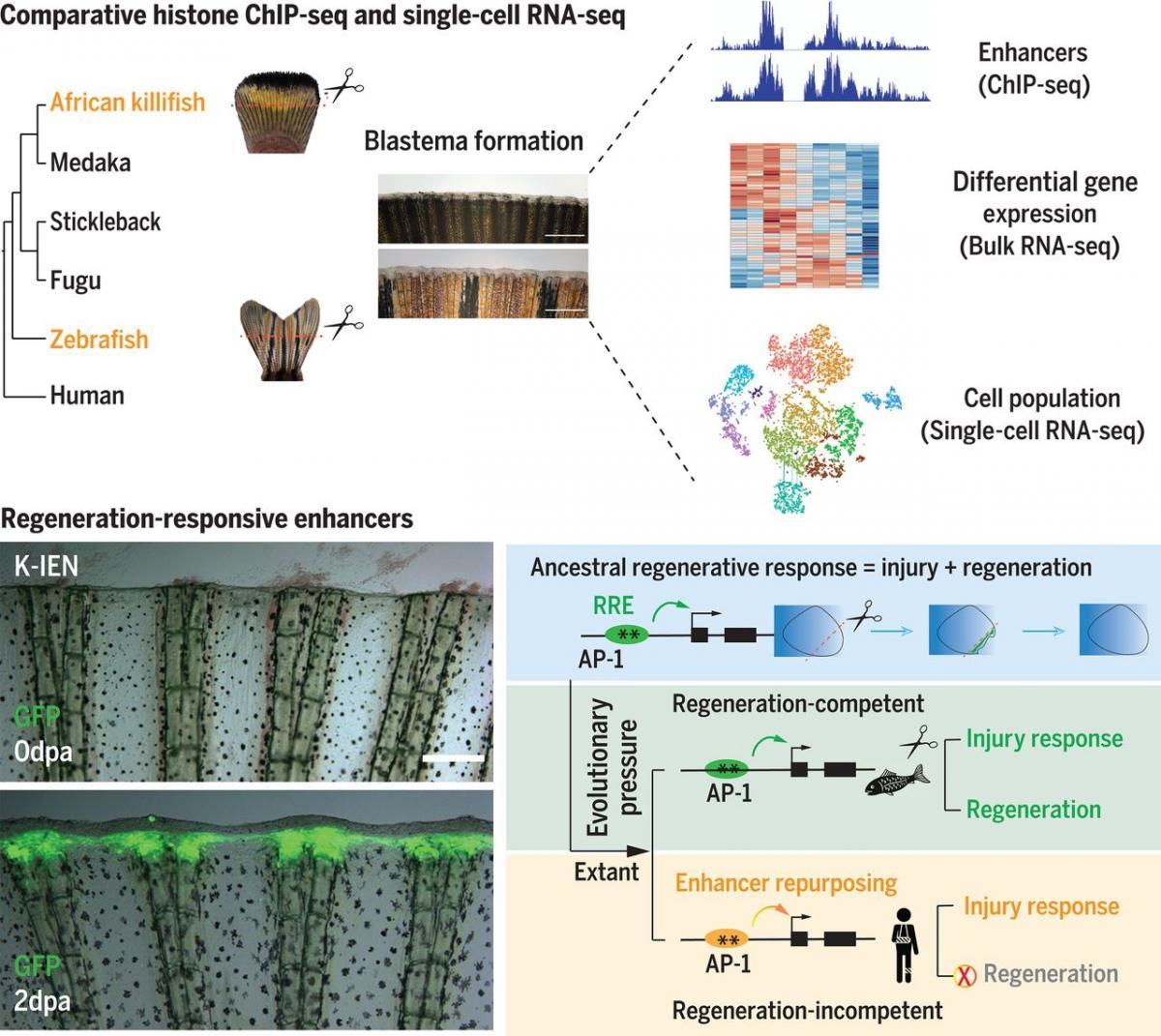 Способность к регенерацииконтролируется регуляцией соответствующих генов