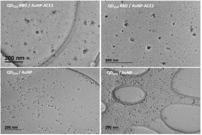 Ученые подсмотрели, как коронавирус проникает в клетку/pubs.acs.org