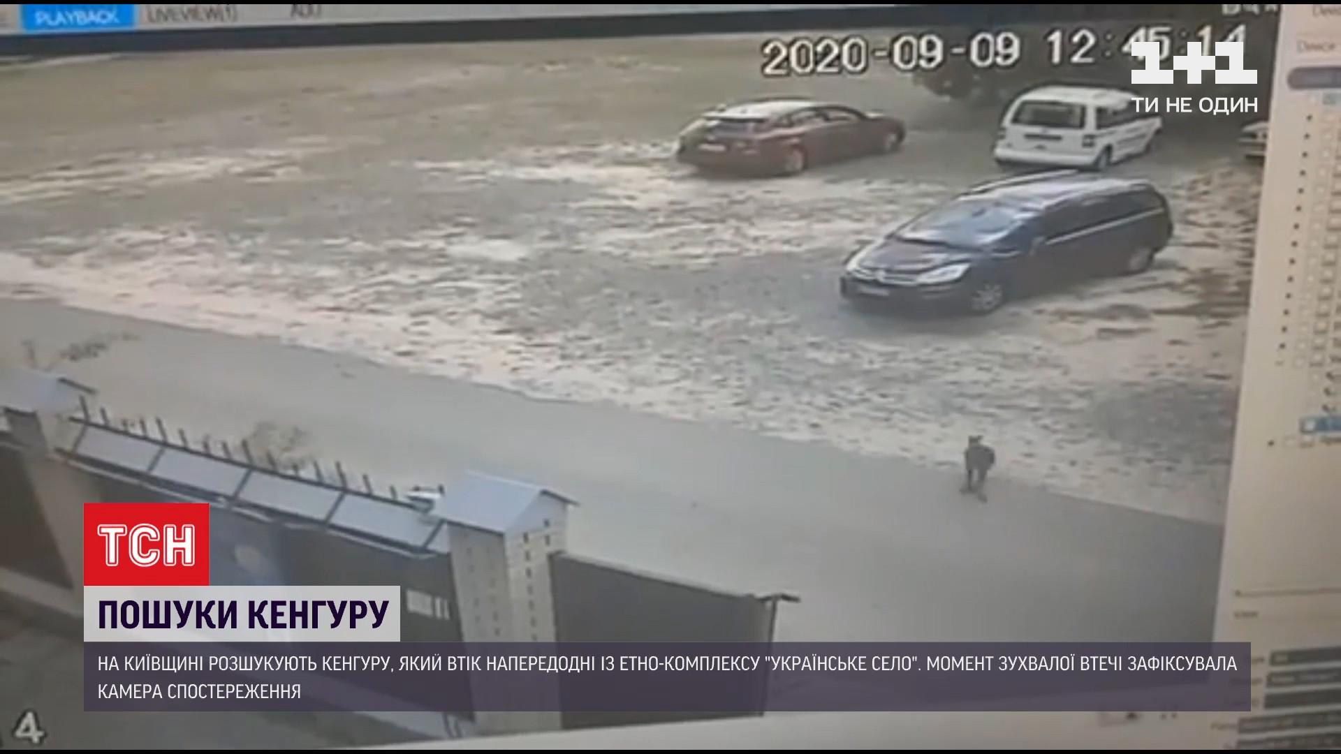 Момент втечі кенгуру потрапив на відео з камер спостереження / скріншот з відео