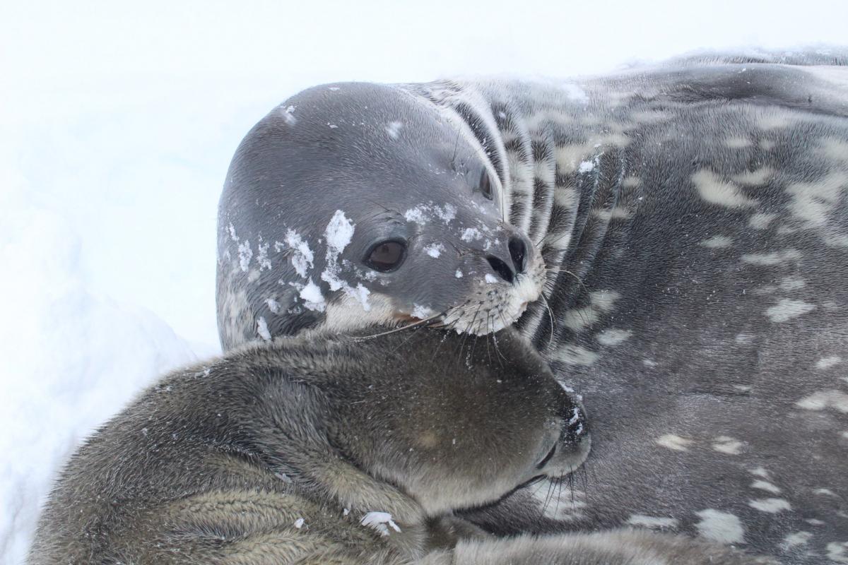 Полярники предложили вместе выбрать имя новорожденной \ Фейсбук Национальный антарктический научный центр