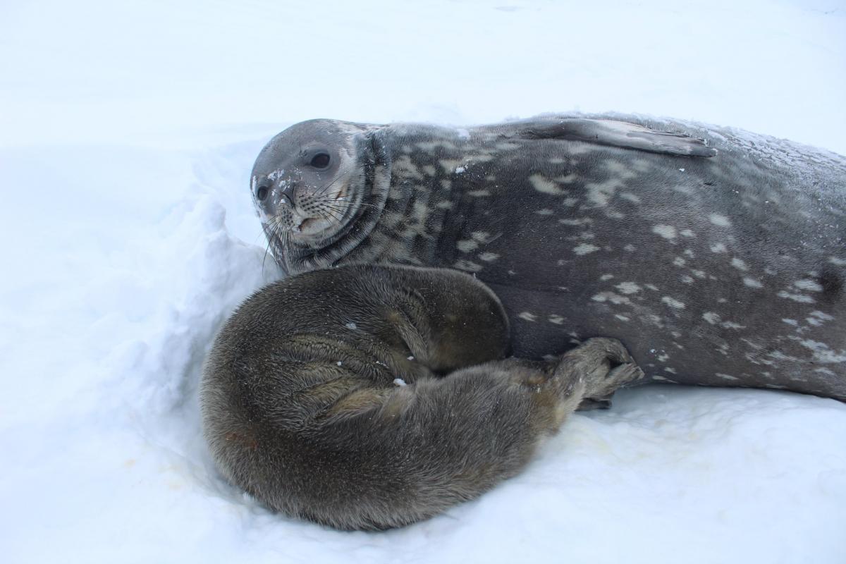 Детеныш и мама находятсявсе время вместе / Фейсбук Национальный антарктический научный центр