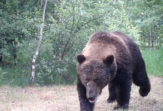 В Чернобыльской зоне появились медведи / скриншот