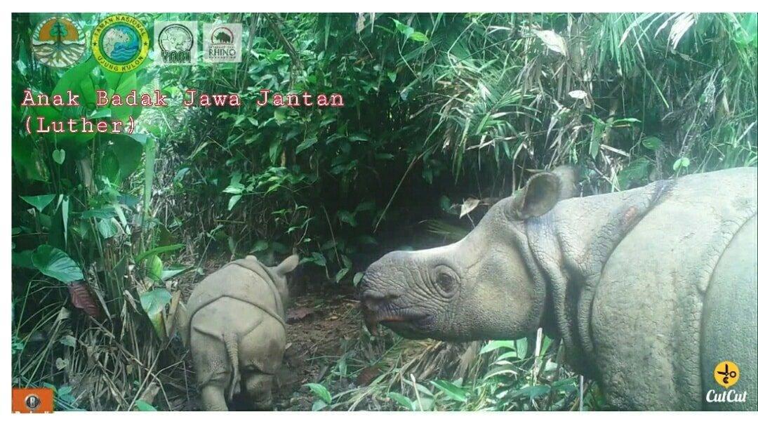 В Индонезии родились два детеныша редкого яванского носорога / фото facebook.com/HumasKemenLHK