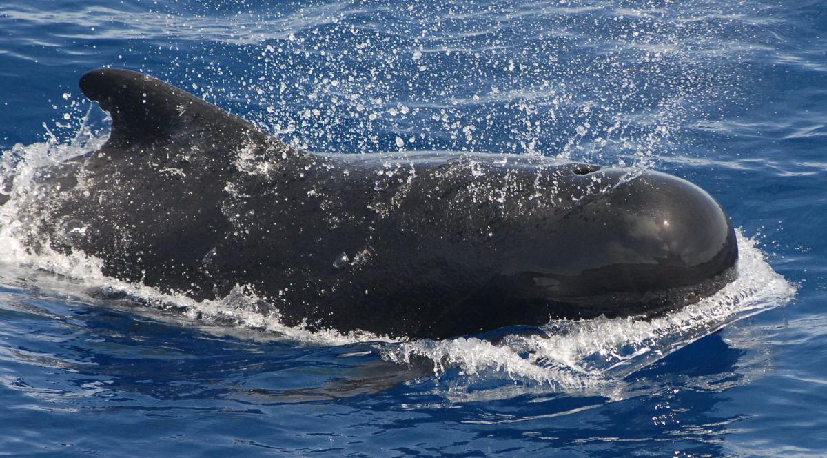 Биологам удалось спасти 50 дельфинов \ Википедия