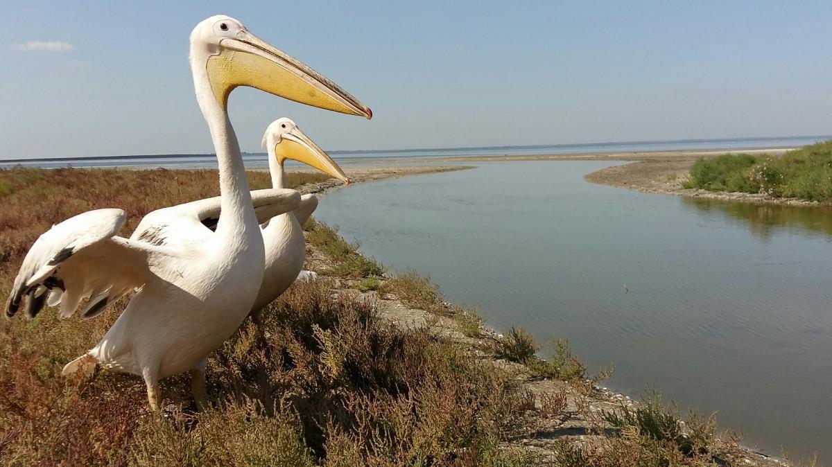 Пеліканів переселили до заповідника / фото facebook.com/rusevivan