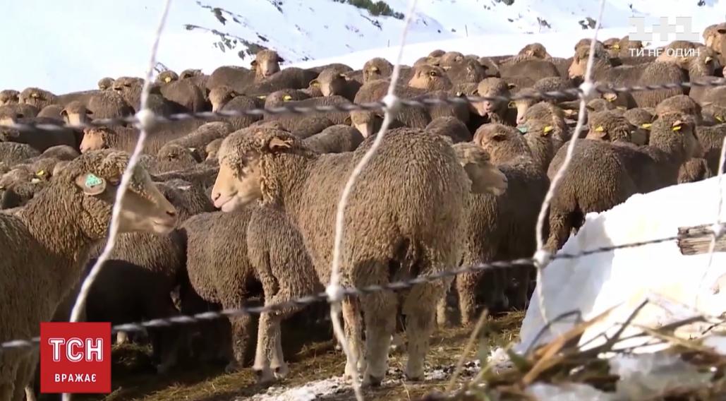 Деякі вівці не їли 48 годин / ТСН