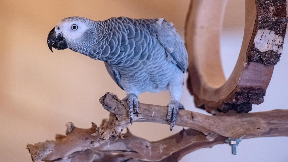 Попугаев изолировали из-за сквернословия / фото alev.biz