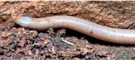 Це вдруге, коли змію побачили в дикій природі / Фото timesofindia.indiatimes.com