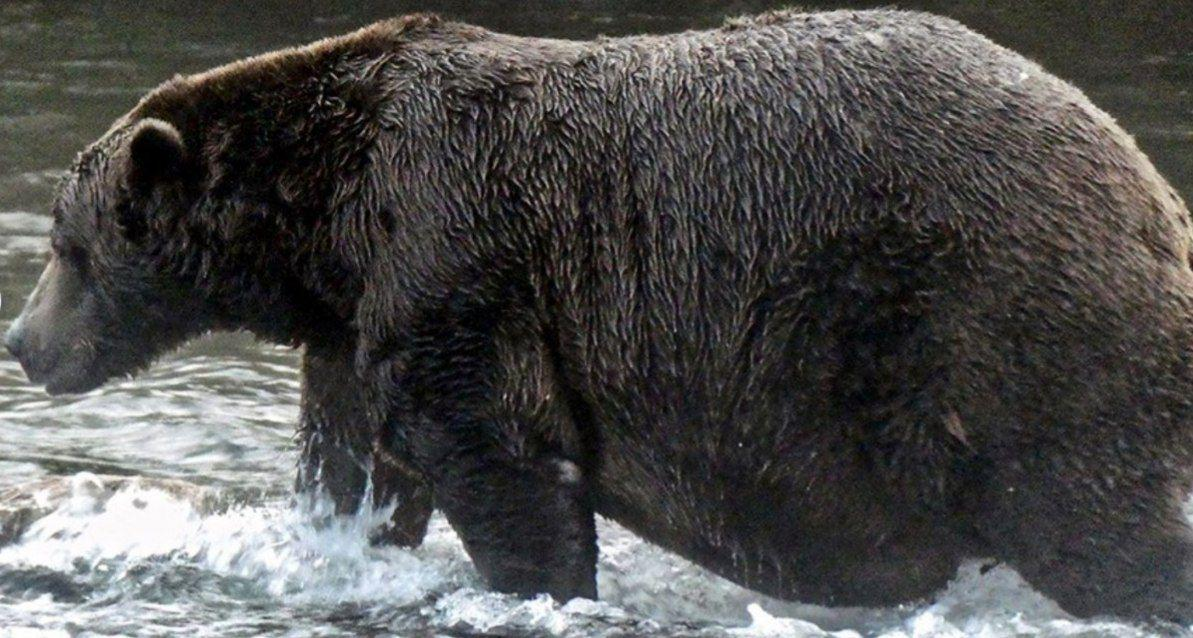 В Аляске прошел конкурс на самого толстого медведя / фото REUTERS