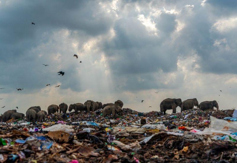 Стадо слонов в поисках еды на свалке \ TILAXAN THARMAPALAN