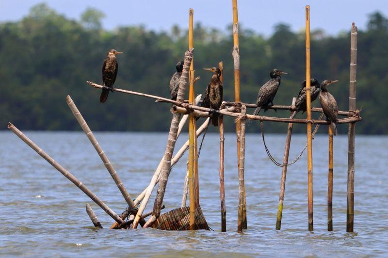 Бакланы охотятся на рыбу \ ASHWIN GEERTHAN