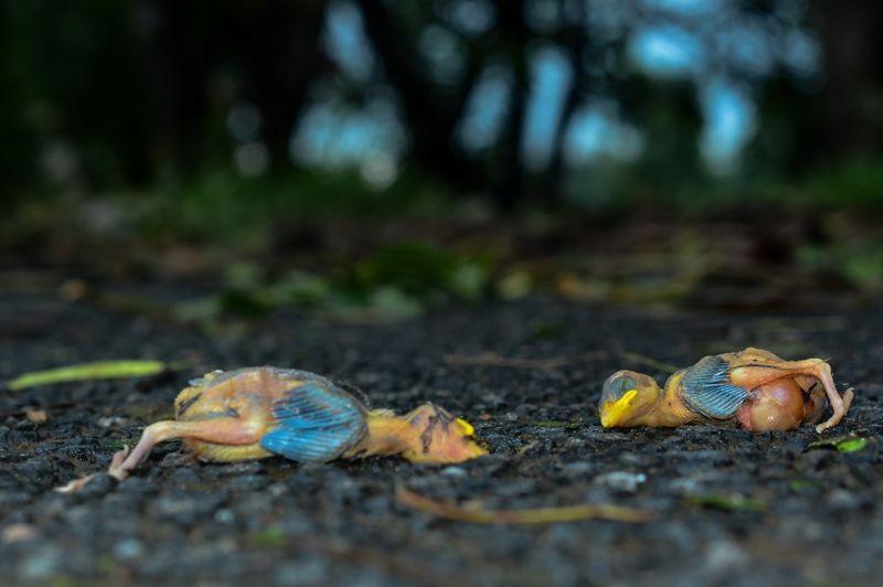 Птенцы выпали из гнезда и погибли \ SAPTARSHI GAYEN