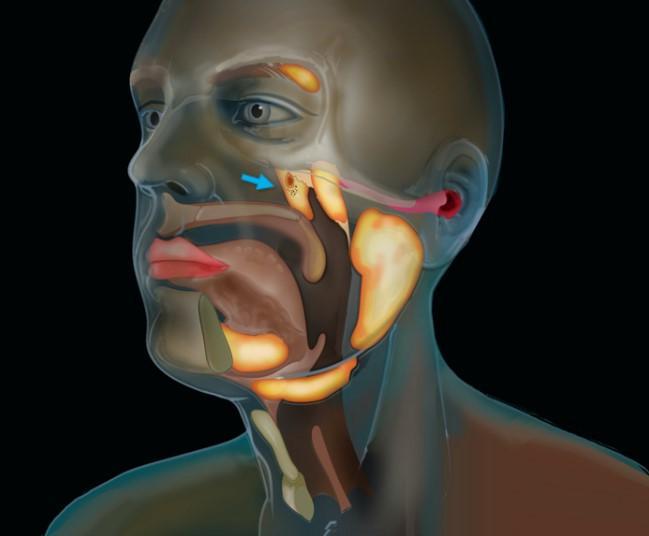 Вчені знайшли новий орган людини / фото the Netherlands Cancer Institute