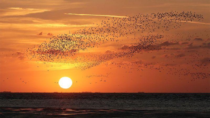 Стаи летают плотными, темными облаками \ фото LES BUNYAN
