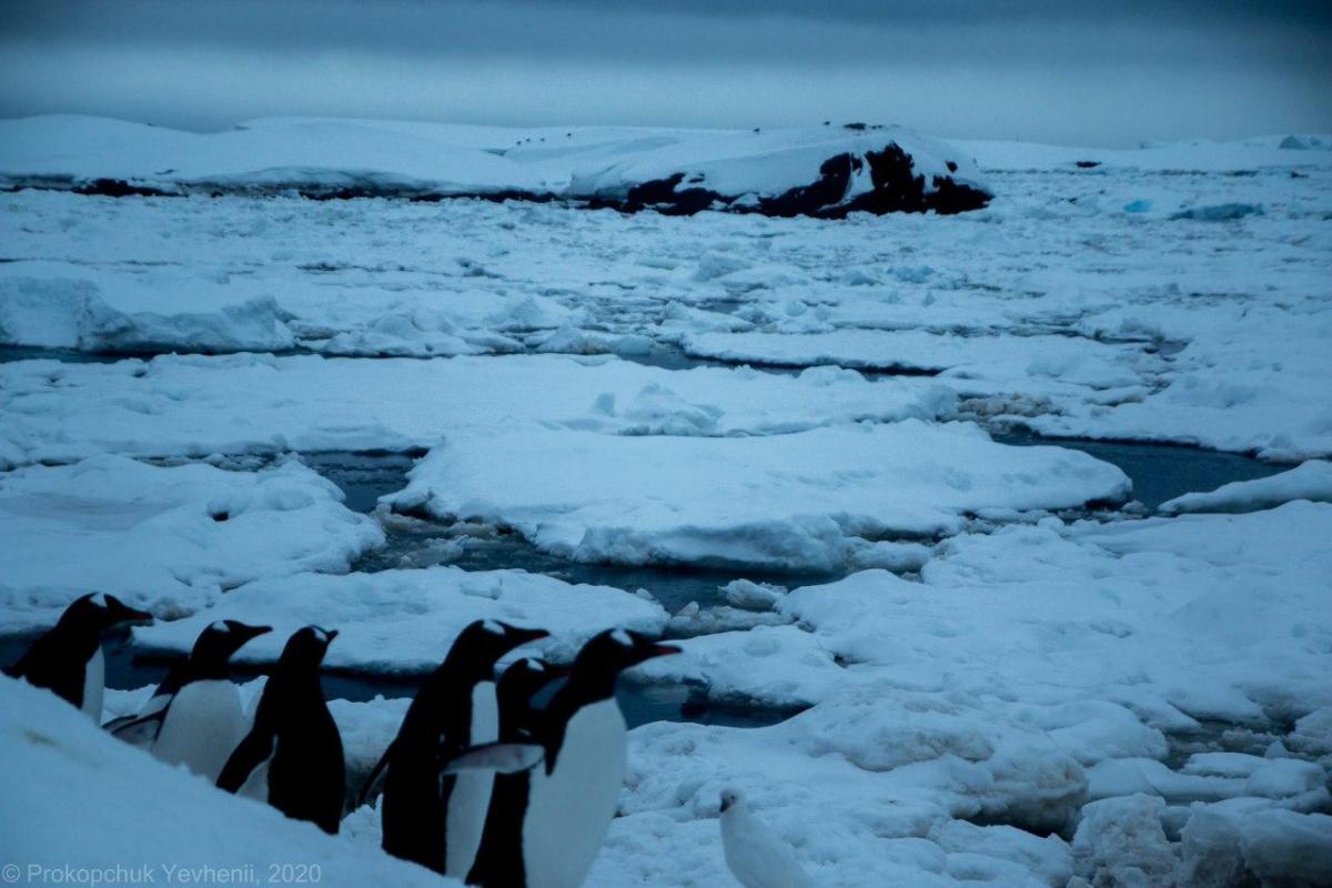 Более тысячи пингвинов оказались в ледовой ловушке / фото Евгений Прокопчук
