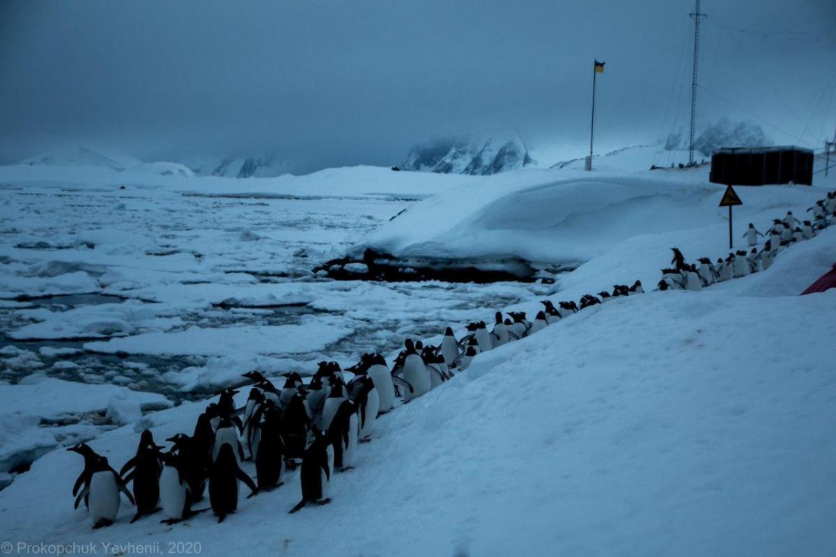 Понад тисяча пінгвінів опинилися в льодовій пастці в Антарктиді