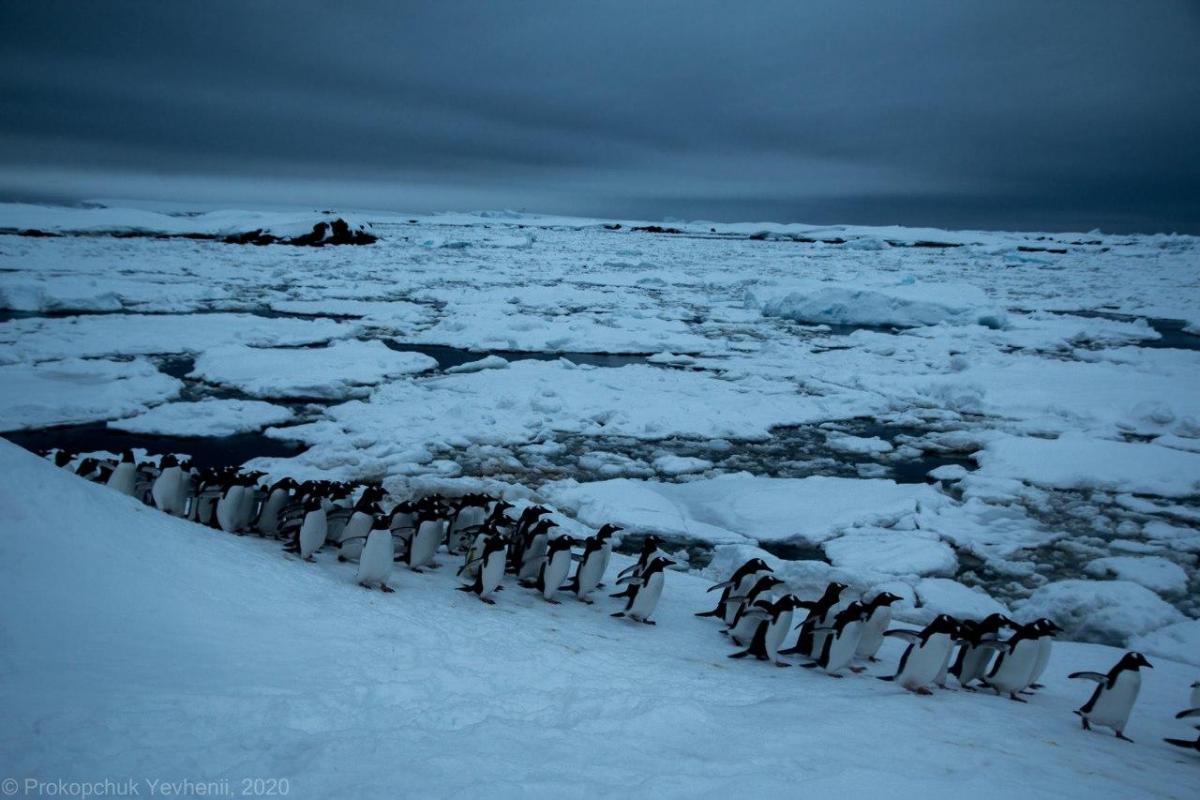 Пингвины не имеют возможности добывать себе еду / фото Евгений Прокопчук