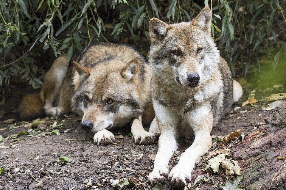 Словакия запретила охоту на волков / фото из соцсетей