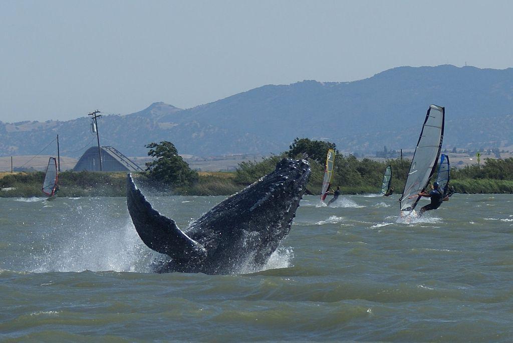 Горбатых китов заметили в реке / фото Википедия