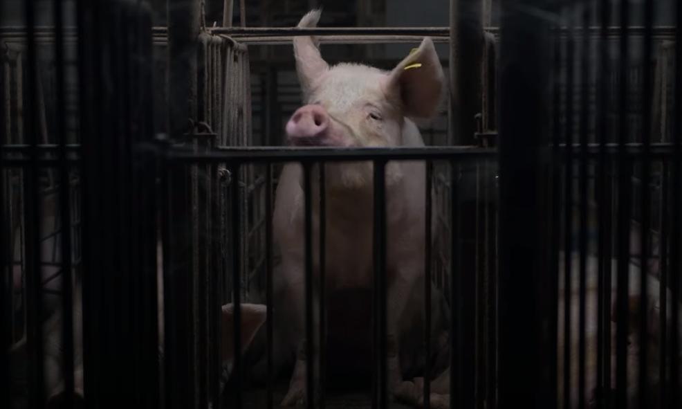 Журналист тайно делал фото и видео на 32 свинофермах / скриншот с видео
