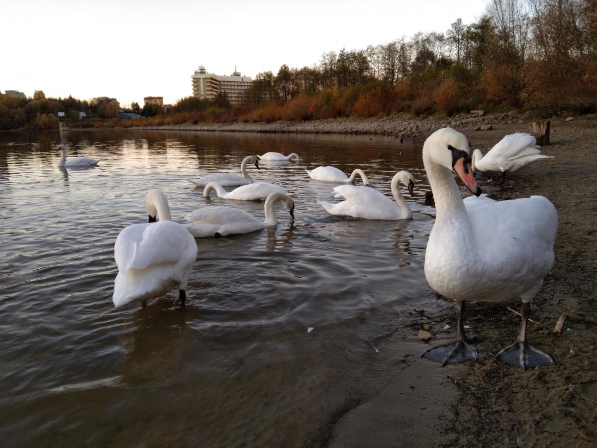 Дикі лебеді облюбували ставок в Трускавці / фото Галина Григоренко