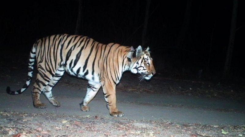 Тигр прошел тысячи километров в поисках самки / фото bbc.com
