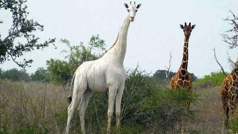 Подобный жираф остался единственный в мире / фото ISHAQBINI HIROLA COMMUNITY CONSERVANCY