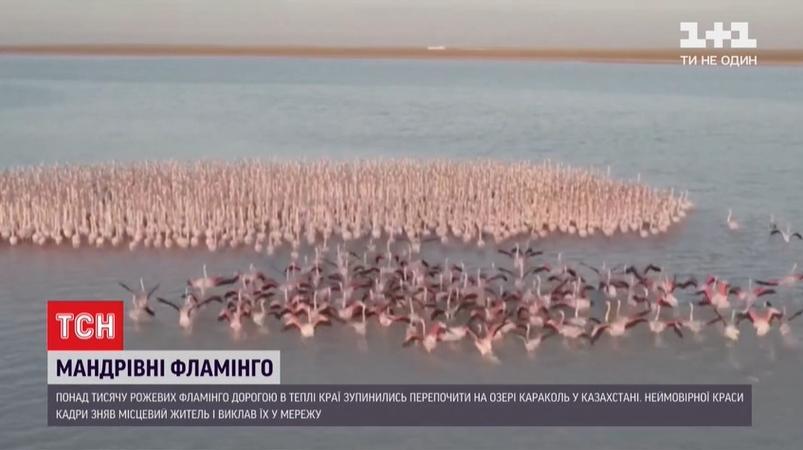 На озере Караколь в Казахстане остановились более тысячи фламинго