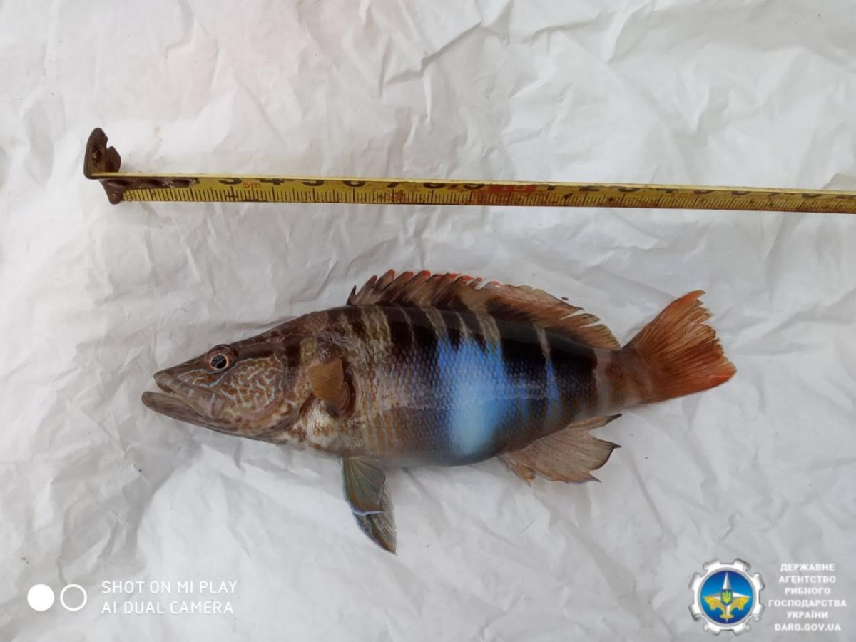 Зазвичай риба досягає довжини 30 см та ваги близько 250 грамів / фото Держрибагентство