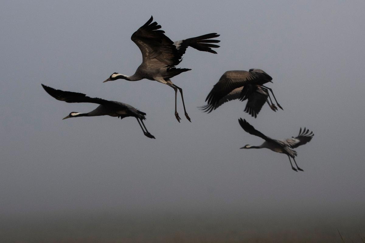 Журавли в Долине Хула в Израиле / фото REUTERS