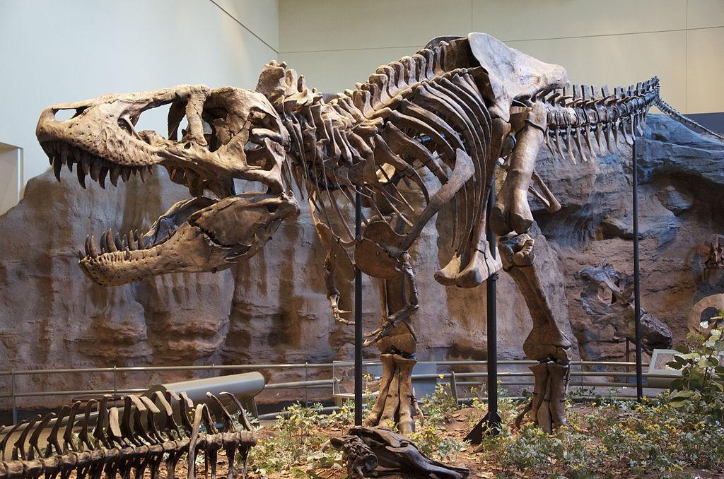 Тиранозавры были хищниками / фото Википедия