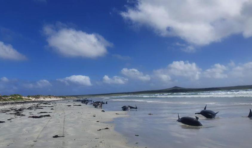 В Новой Зеландии черные дельфины выбросились на берег / фото REUTERS