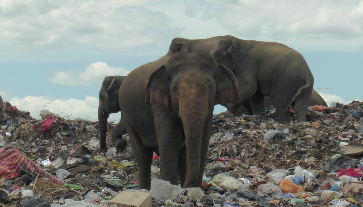 Слоны питаются на свалке на Шри-Ланке / Фото REUTERS