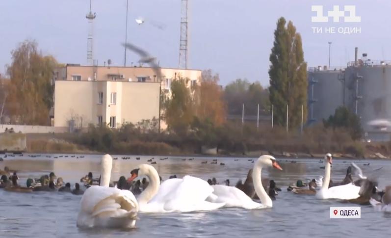Спасенного в Одессе лебедя выпустили на свободу / скриншот с видео
