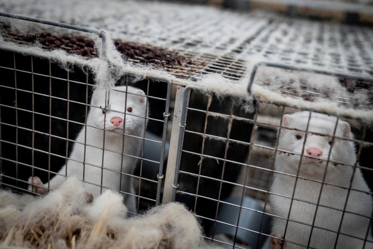 Якщо норки передадуть інфекцію іншим тваринам, вірус може мутувати / фото REUTERS
