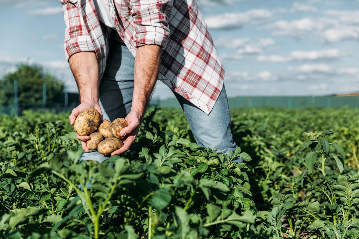 Ежегодно Украина потребляет порядка 5-7 миллионов тонн картофеля / фото ua.depositphotos.com