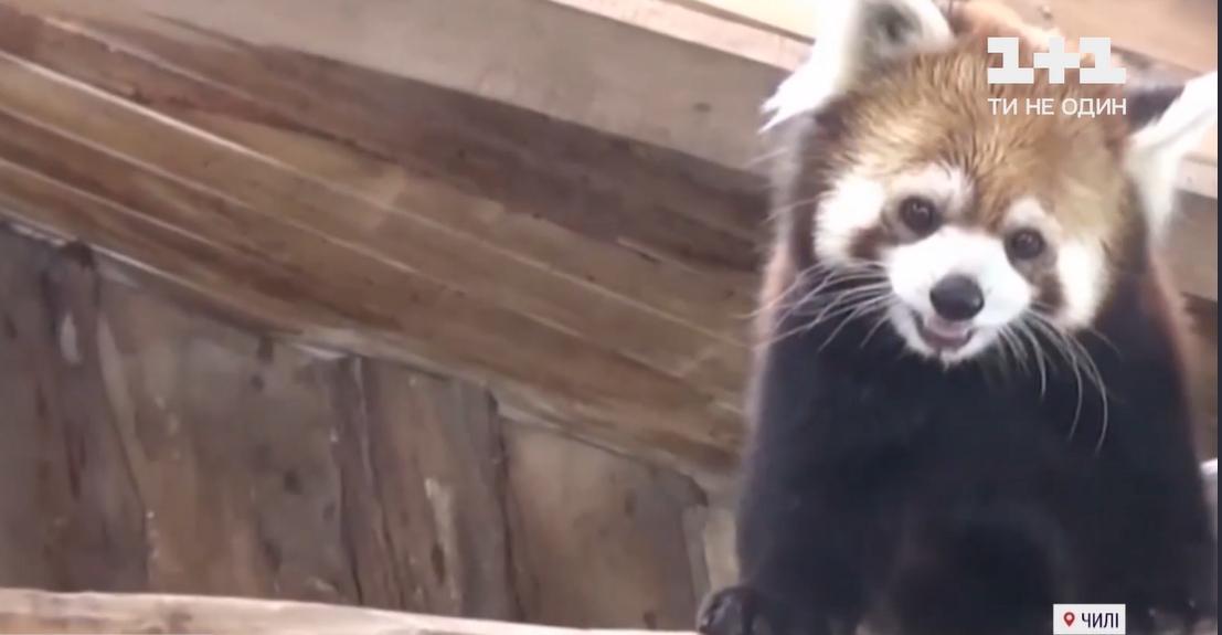У зоопарку сподіваються, що незабаром в родині червоних панд з'явиться поповнення / скріншот